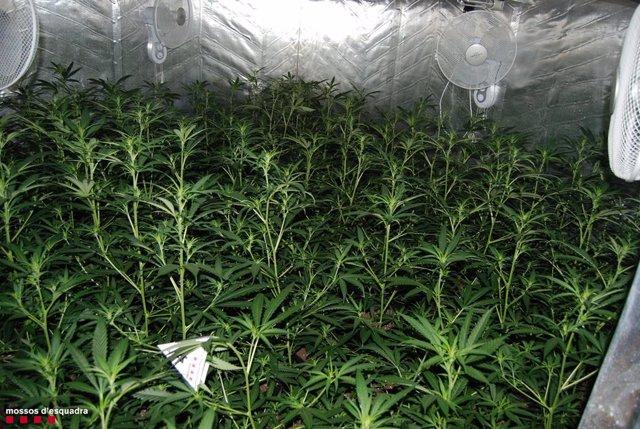 Plantes de marihuana interceptades al Catllar (Tarragona).