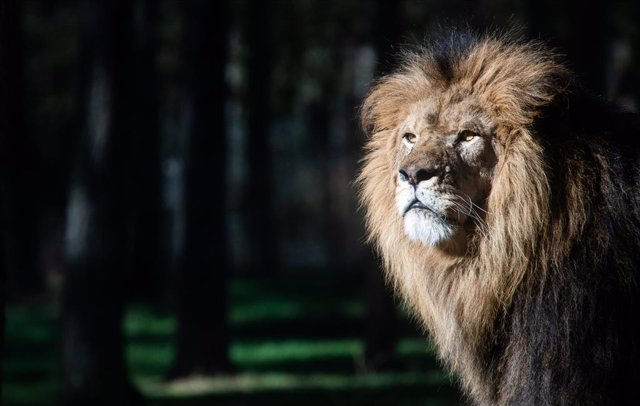 08 March 2021, Lower Saxony, Hodenhagen: A lion stands inside its enclosure at Serengeti Park, which has been reopened for visitors again amid a relaxation in the coronavirus restrictions. Photo: Julian Stratenschulte/dpa
