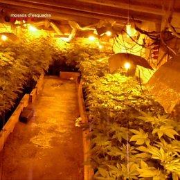 Una de les plantacions de marihuana desmantellades a la província de Girona.