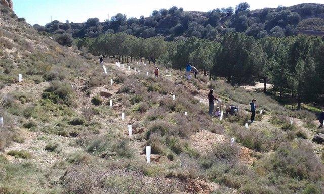 Plantación de carrascas.