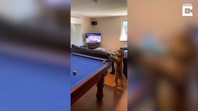 Este perro asiste a su dueño durante una partida al billar metiendo la bola en una de las troneras