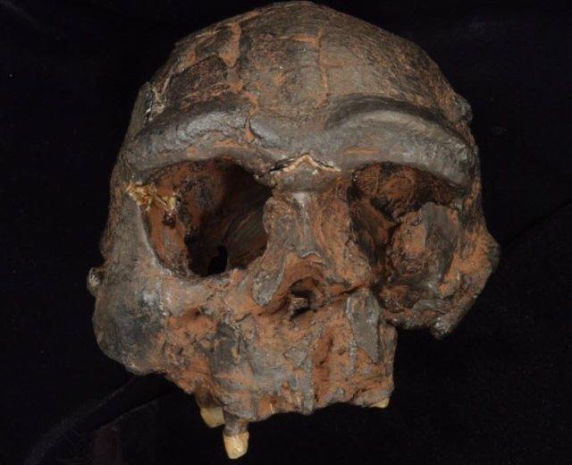 Réplica del cráneo de Homo erectus de Java
