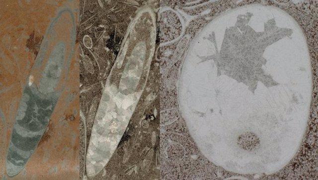 Sección longitudinal y transversal de fósiles que podrían llegar a ser la primera forma conocida de cefalópodo.