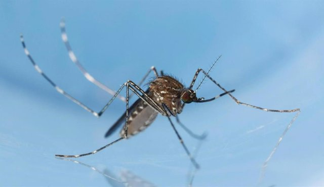 Archivo - Mosquito Culex tarsalis.