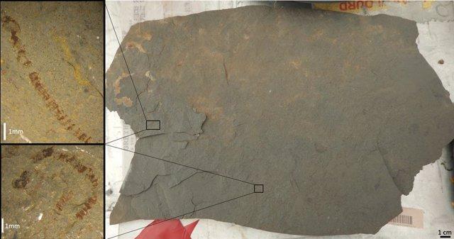 Una losa de pizarra con macrofósiles de algas bien conservados.