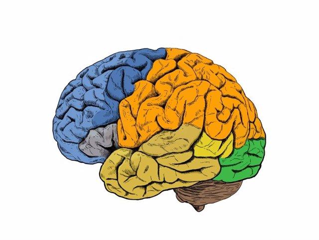 Archivo - Cerebro