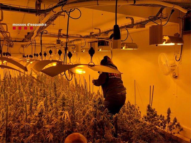 Desmantellada una plantació de marihuana en una casa de Vilassar de Dalt (Barcelona)