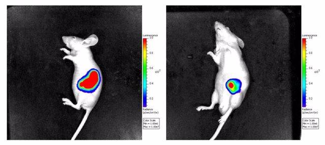 El grupo de ratones tratados con imipramina (derecha) desarrollan tumores más pequeños que el grupo control (izquierda)
