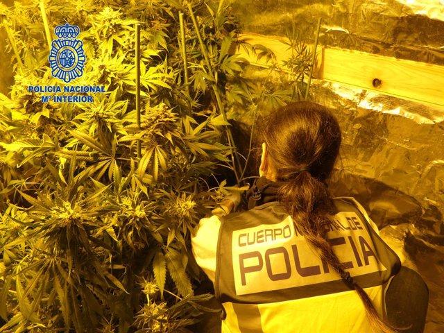 Una agent de la Policia Nacional intervé una plantació de marihuana.