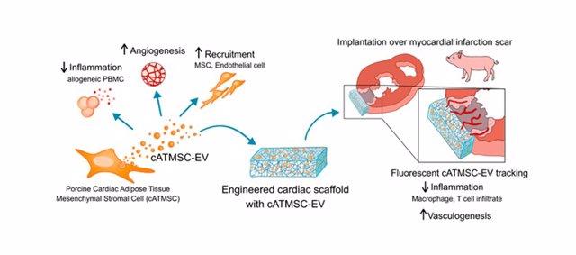 Bioimplantes con vesículas extracelulares de células madre para controlar y favorecer la reparación del músculo cardiaco después de un infarto