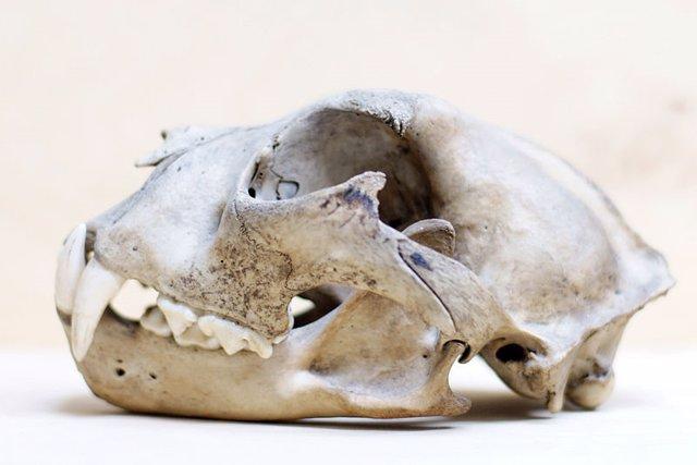 Cráneo de leopardo