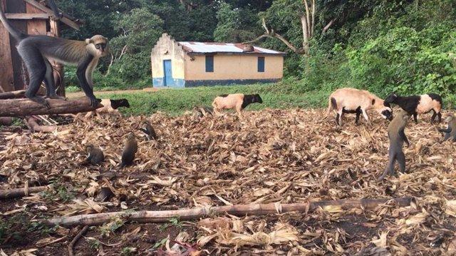 Los primates y el ganado exploran los terrenos fuera de una residencia en Ghana.