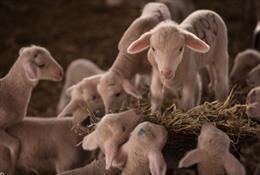 La Finca Fuente de los Romeros consigue importar semen y embriones de merino australiano para conseguir la mejor calidad de lana