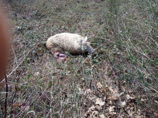 Una de las ovejas atacadas por el lobo.