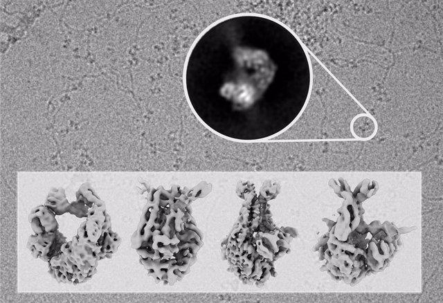 En el fondo de la imagen se muestra una fotografía tomada con el microscopio electrónico en la que se observan moléculas de ADN decoradas con moléculas de la proteína MutS, escaneando el ADN en busca de errores.