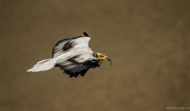 Ejemplar de alimoche común adulto con material en el pico para el nido.