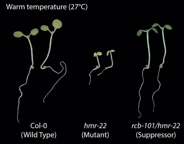 Comparación de la planta de tipo salvaje sensible a la temperatura con un mutante que es insensible y una tercera planta que se mutó por segunda vez para recuperar la sensibilidad a la temperatura.