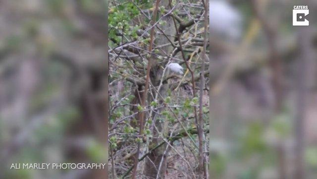 Avistan un petirrojo blanco increíblemente raro en el Reino Unido