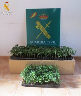 Plantas incautadas por la Guardia Civil.