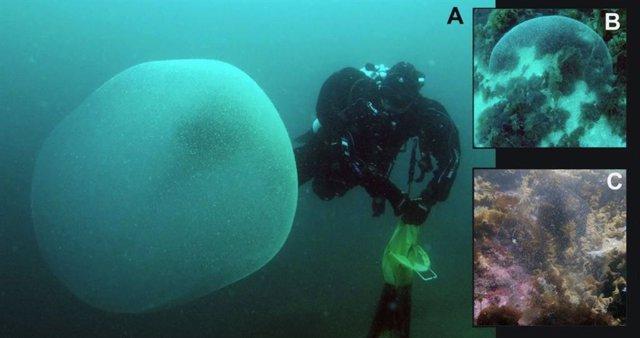 Enormes esferas gelatinosas del NE del Océano Atlántico (Noruega, Suecia e Inglaterra) atribuidas a la masa de huevos de calamar.