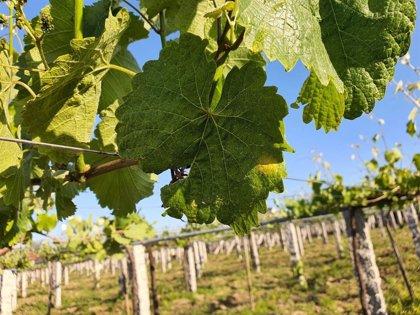"Detectan la primera mancha de mildiu en viñas de O Salnés, aunque de momento se considera un caso ""excepcional"""