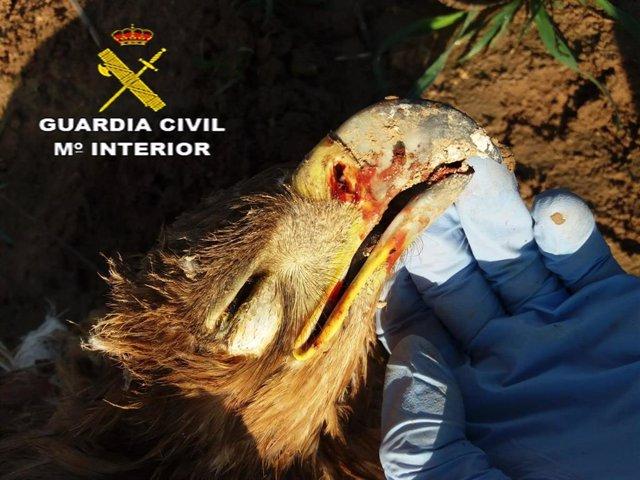 Ejemplar de águila imperial abatida