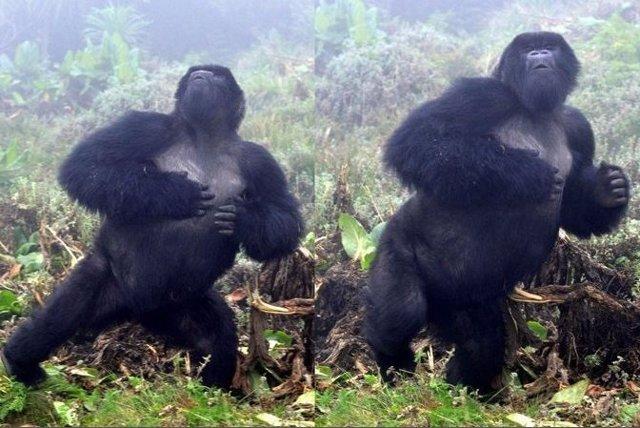 Un gorila macho golpeándose el pecho