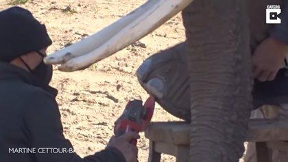 Dos elefantas africanas se someten a una sesión de pedicura en un zoo de Bélgica