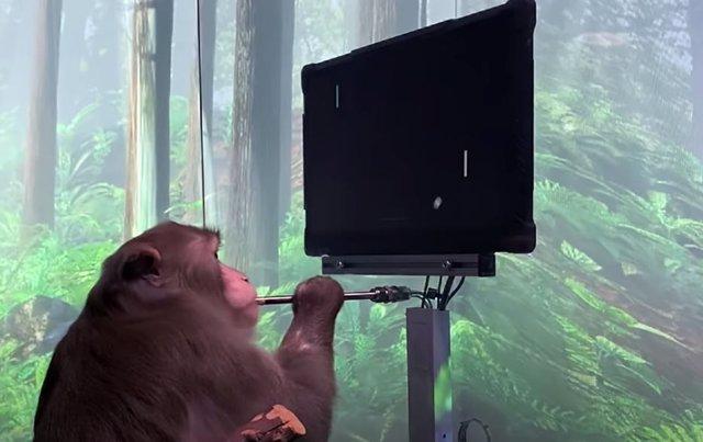 Macaco jugando al mind-pong con un interafz Neuralink implantado en su cerebro
