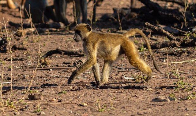 Babuino chacma en Botsuana