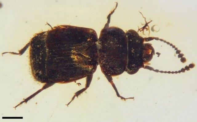Vista dorsal de Pelretes vivificus, un escarabajo de las flores de alas cortas del Cretácico (Kateretidae) de ámbar birmano ( 99 Ma).