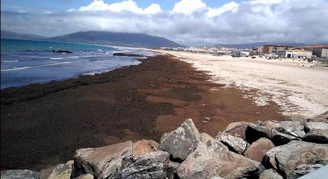Archivo - Playa de Tarifa inundada con el alga asiática en una imagen de archivo