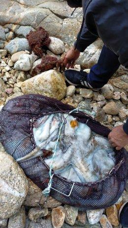 Pulpos y centollas intervenidos a un 'furtivo' identificado y denunciado por la Policía Local, por faenar ilegalmente en la zona de Saiáns (Vigo).