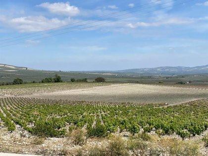 Coronavirus.- La Junta convoca ayudas urgentes al sector vitivinícola, con 5.456 hectáreas en Córdoba