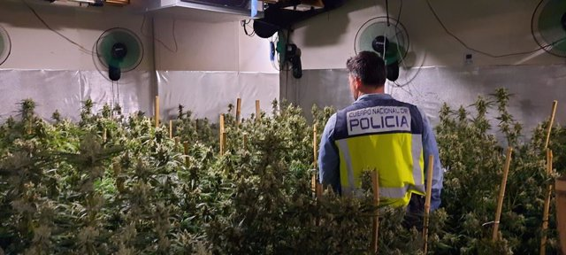 La Policia Nacional ha detingut dos persones i ha desmantellat una plantació intervenint prop de 300 quilos de marihuana en un xalet de Dénia