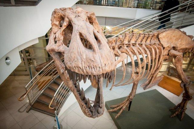 Un molde de un esqueleto de T.Rex en exhibición en el Museo de Paleontología de la UC