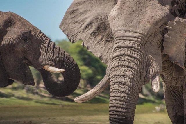 Archivo - Un joven adolescente junto a un viejo elefante en el Parque Nacional Makgadikgadi Pans