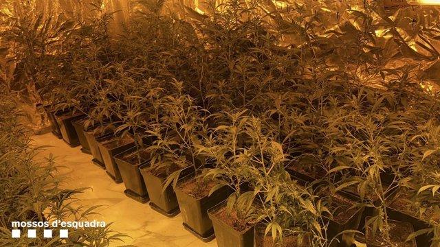 Una plantació de marihuana a El Prat de Llobregat (Barcelona)