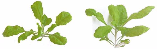 El crecimiento similar a un diente de león de Arabidopsis de tipo salvaje (izquierda) cambia a un patrón más parecido al de la colza cuando los genes ATH1 y DELLA están mutados (derecha).
