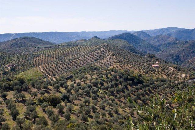 Paisaje de olivar en Andalucía.