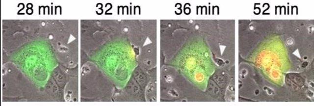 En verde, una célula infectada, cultivada en presencia de anticuerpos (invisibles) y células NK (flecha blanca). La célula NK entra en contacto con la célula infectada y la destruye (la célula moribunda se vuelve roja).