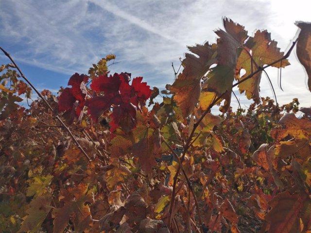 Archivo - Una viña en La Rioja con los colores del otoño