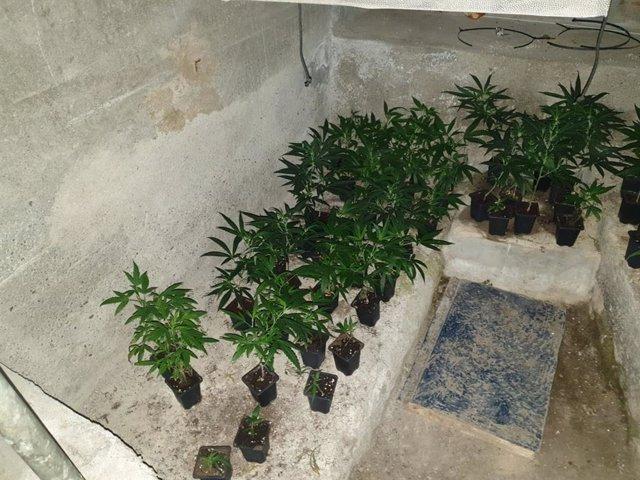 Algunes de les plantes de marihuana localitzades pels Mossos d'Esquadra, la Guàrdia Civil i la Policia Nacional durant l'operatiu 'Delos'.