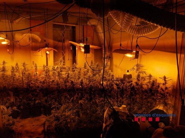La plantació de marihuana al menjador del domicili.