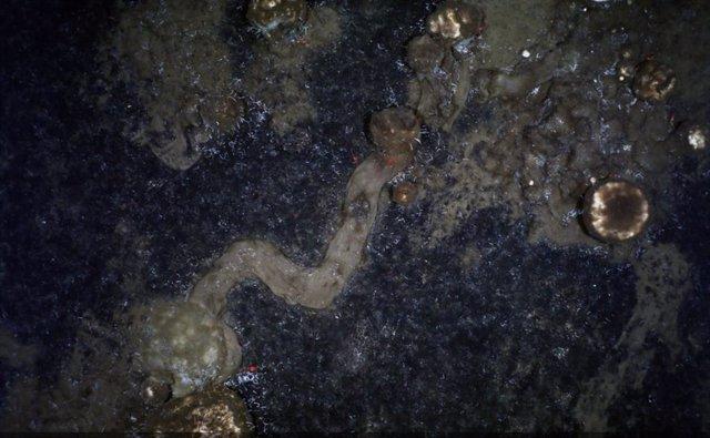 Senderos que dejan las esponjas mientras se arrastran por el fondo marino.