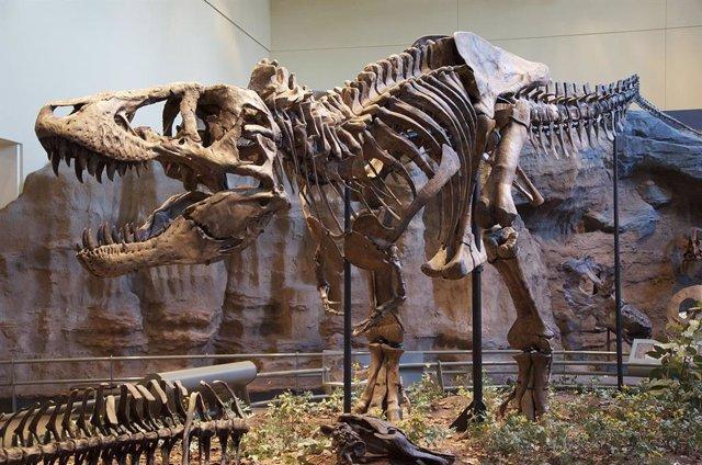 Reconstrucción del esqueleto del espécimen holotipo (CM 9380) de Tyrannosaurus rex del Museo de Historia Natural Carnegie