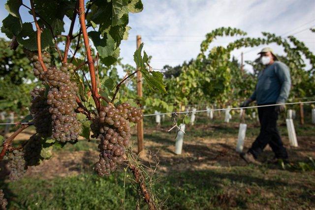 Archivo - Un trabajador de la Bodega Txabarri recoge uvas durante la vendimia para producir txakoli de Bizkaia, en Zalla, Vizcaya, Euskadi (España), a 14 de septiembre de 2020. La vendimia del  txakoli comenzó oficialmente el pasado viernes, 11 de septiem