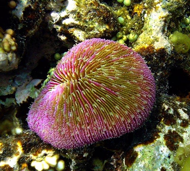 Coral de la familia Fungiidae con tentáculos cortos, en Papúa Nueva Guinea