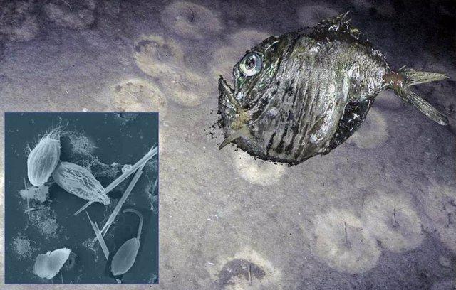 El mar profundo tiene una enorme diversidad de especies. Entre los organismos, dominan los organismos unicelulares como los flagelados y ciliados bacterívoros y parásitos.