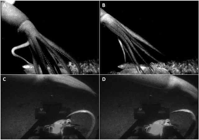 Imagen de un calamar no identificado, posiblemente Promachoteuthis sloani, registrada en un encuentro. Alrededor de charcos de salmuera (A, B) y un arrecife de coral Lophelia sp. (C, D) en el norte del Golfo de México.
